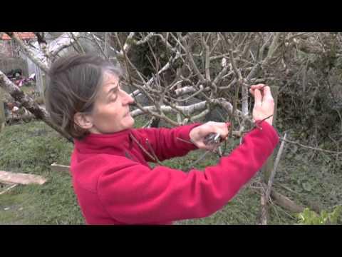 How To: Prune apple trees