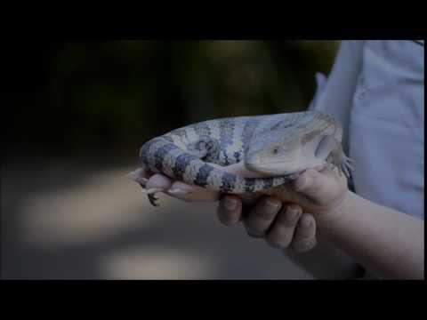 A Blue Tongued Lizard -- at Australia Zoo