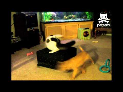Cat chases dog chasing leash