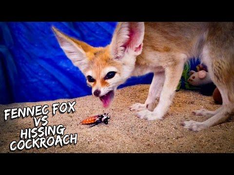Fennec Fox VS Madagascar Hissing Cockroach