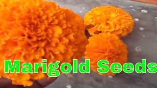 गेंदे के बीज कैसे एकत्रित करे / How to collect marigold seeds // Mammal Bonsai