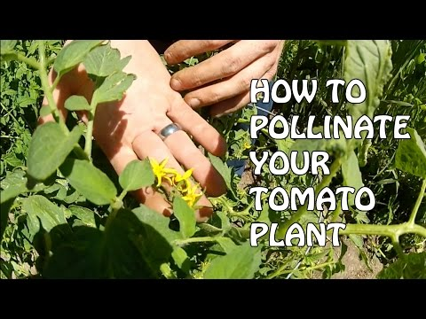 How To Pollinate Your Tomato Plant