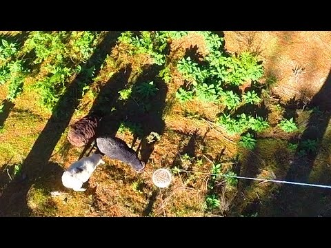 Angry Ram gets sheep nuts delivered by a drone