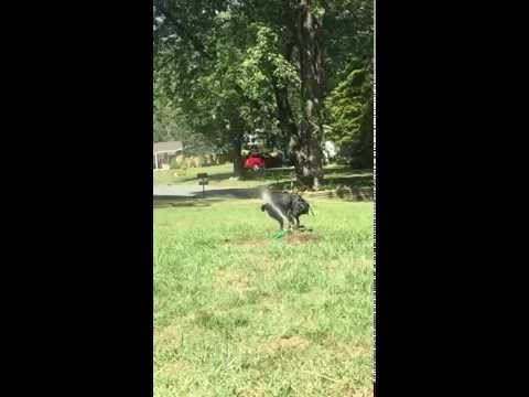 Lab Coonhound Mix - Puppy playing