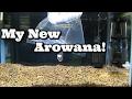 My New Arowana!