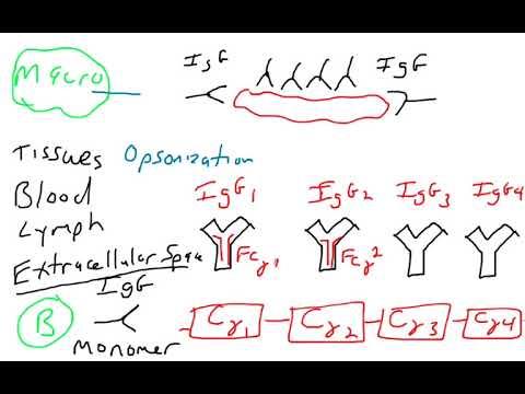 Antibody effector function - IgG IgA IgE IgD