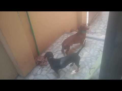 Dogshund breed   ..... male and female  name Jack and jill