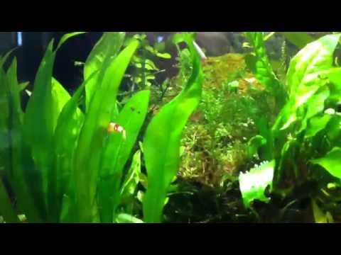 Crystal Red Shrimps Breeding Swim Craze!