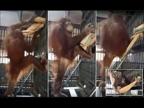 Orangutan forced to sleep in cage at Thai zoo makes hammock