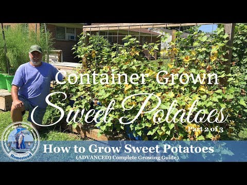 HD How to Grow Sweet Potatoes in Containers (Part 2 of 3)