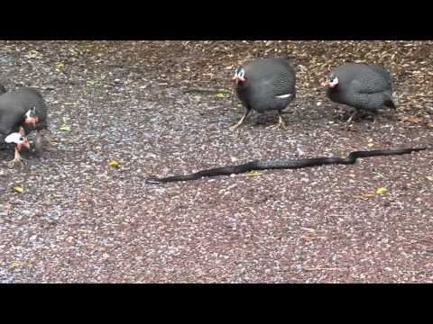 Guineas and snake