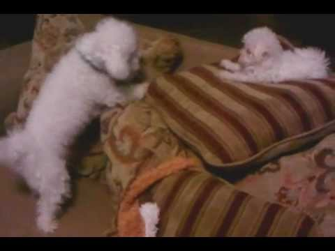 My cutie little dogs, Angel and King a Bichon Frise...