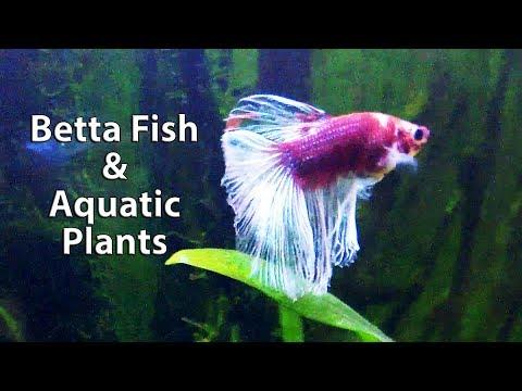 Blood Red Halfmoon Betta Fish and New Aquatic plants in Planted Aquarium