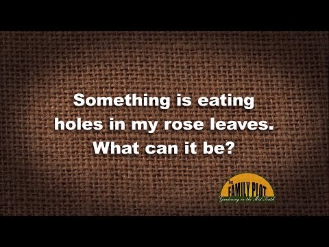 Q&A - What is eating holes in my rose leaves?