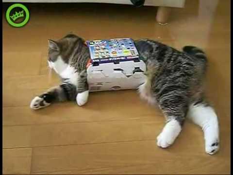 Maru the cat loves carton diet boxes.