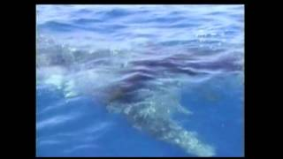 Whale Shark Seeks Help