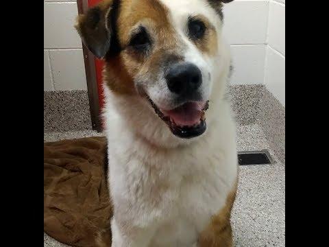 Pima Animal Care Center 4-21-18 Doggie Adoptable - Bear - 10 Year Old Male