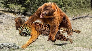 Bear Vs Tiger | Mother Bear Real Fight With Tiger To Protect Her Baby