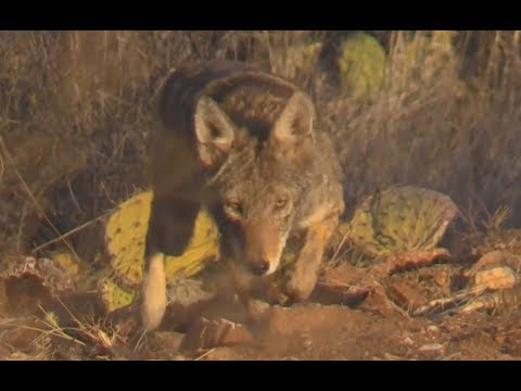 STALKING OR STALKED? - Approaching wild Coyotes w/ Pit Bull (UNEDITED) * Very interesting *