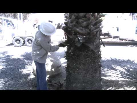 WC Tree Removal Temecula - How To Clean The Base Of A Fan Palm Tree
