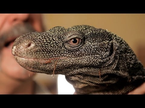 5 Cool Facts about Monitor Lizards   Pet Reptiles