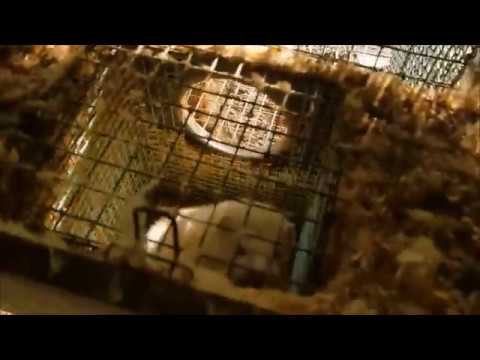 Undercover Footage of an Irish Mink Farm - 2018