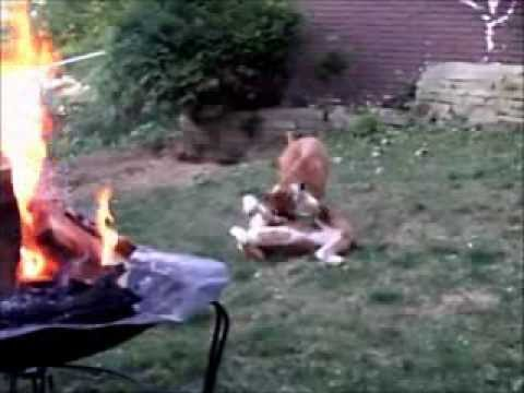 Boxer Dogs Fighting and Boxing