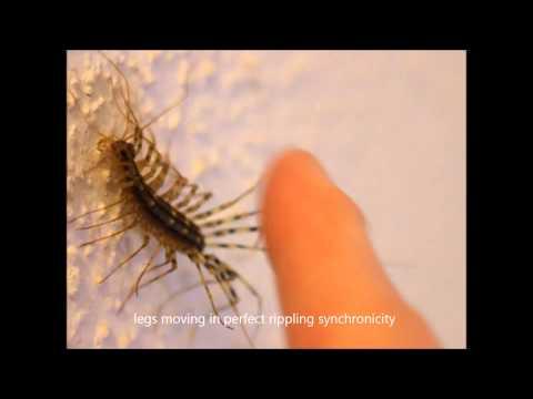 House Centipede,  Scutigera coleoptrata