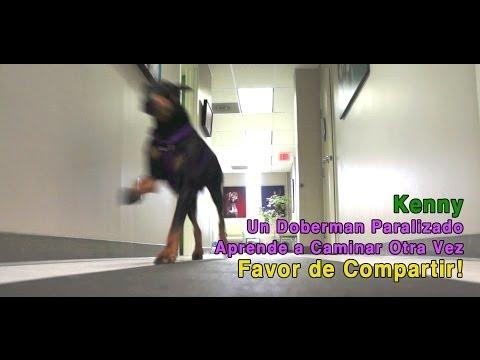Kenny-Un Doberman Paralizado Aprende a Caminar Otra Vez- Favor de Compartir!