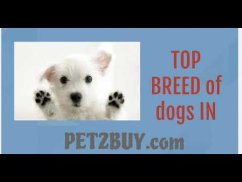 best dog breeds for apartments in india
