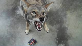 """Coyote named Scooter  - 076 - new toy brings out """"ugly face"""""""