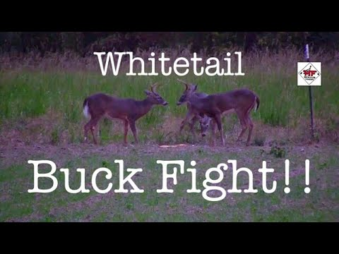 Whitetail Buck fight at Hollis Farms!