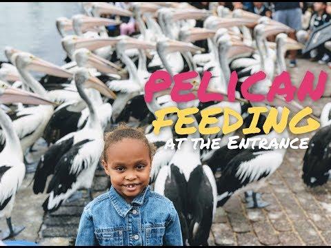Pelican Feeding : The Entrance (NSW, Australia)