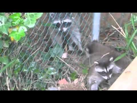Raccoon tries to pull her babies headfirst through the fence!!