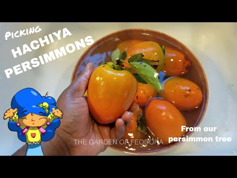 2 Types of Persimmons: Picking
