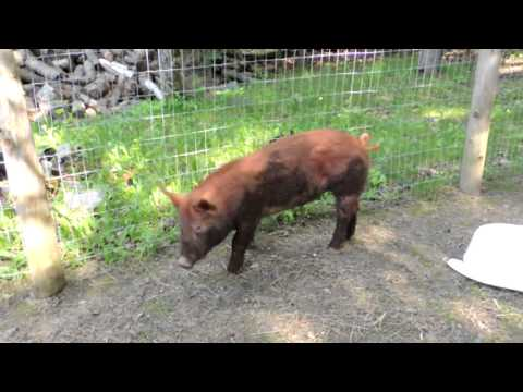 Pig Belly Rubs & Poultry Pens!