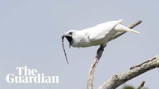 White bellbird: listen to the world's loudest bird call