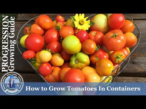 How to Grow Patio Tomatoes