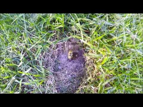Ground Wasp Nest - Yellow Jackets Nest