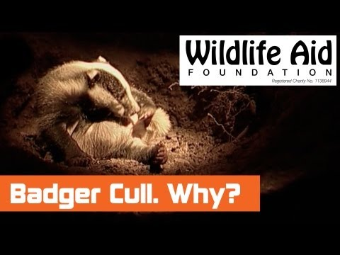 Why is there a Badger Cull?