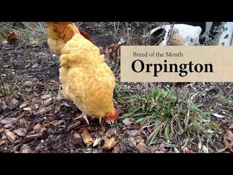 Orpington Chicken: February Breed of the Month