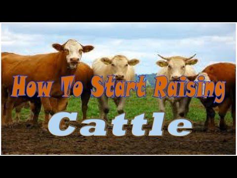 How To Start Raising Cattle