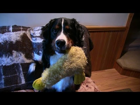 Bernese Mountain Dog Plays with Duck