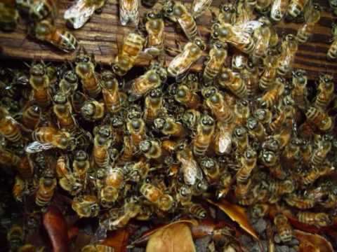 A Day in the Life of  Mr. Africanized BEE control Expert.