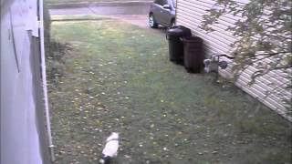 I think my neighbors dog is blind