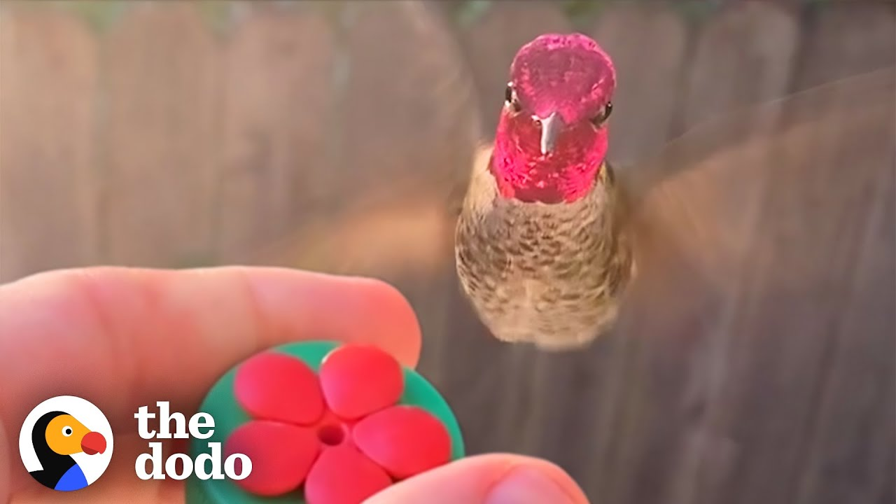 Hummingbird Waits Outside The Window For His Favorite Guy | The Dodo Wild Hearts