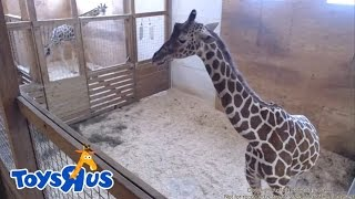 Download Animal Adventure Park's April the Giraffe - Live Birth - Archive footage Video