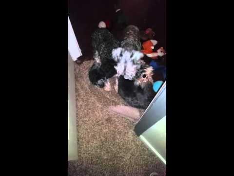 Schnauzers sleep outside door