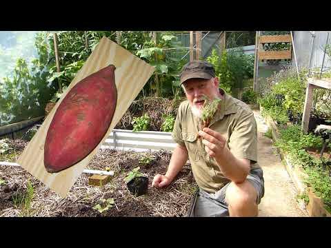 Don't BUY Sweet Potato Plants!