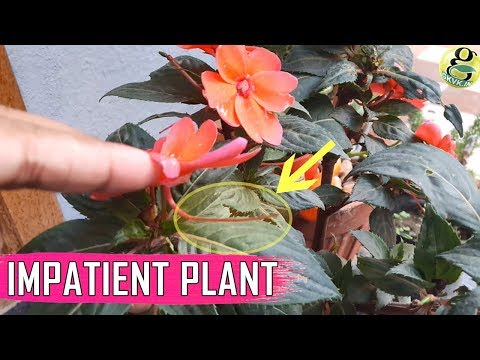 FLOWER WITH TAIL: Impatiens Balsam Gulmehndi Flower Plant Care Tips – Impatient to Reproduce
